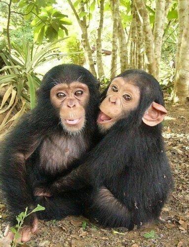 Les chimpanzés connaissent la vengeance et le pardon. Voir la Tête au Carré, émission de Mathieu Vidard, France Inter, 5 nov. 2014.