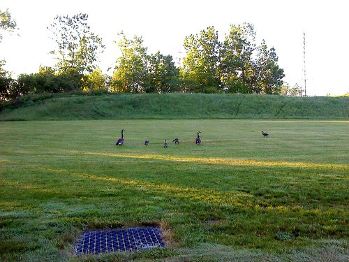 The Goose family IV