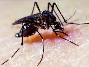 Pesquisa propõe dupla infecção do mosquito Aedes aegypti para evitar transmissão de dengue, chikungunya e zika  (Foto: Cameron P. Simmons/Divulgação)