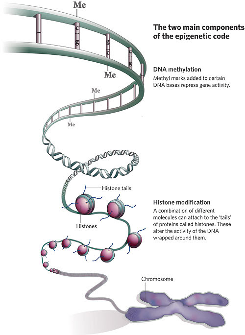 Figure 2: Two major components of epigenetics (3)
