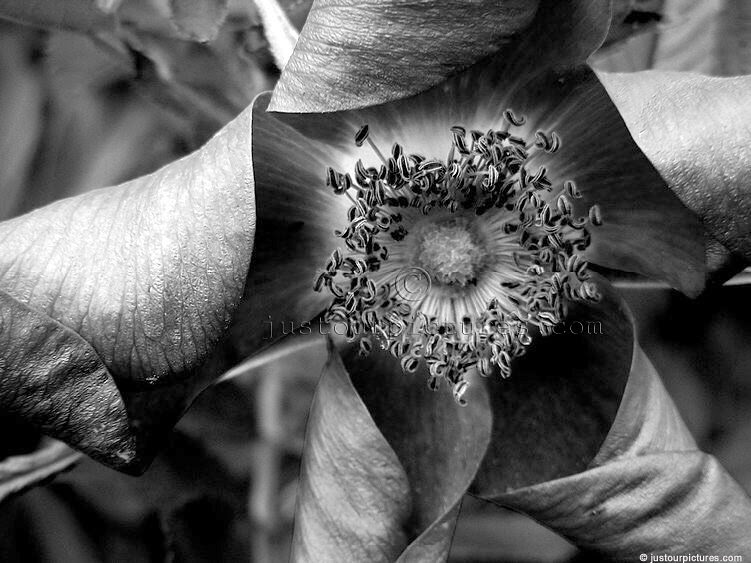 Plant And Flower Pictures In Black And White Just Our Picturescom