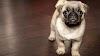 Cinco curiosidades de los perros pequeños que debes conocer