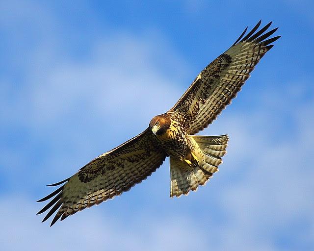IMG_0766 Red-Tailed Hawk, Modoc National Wildlife Refuge