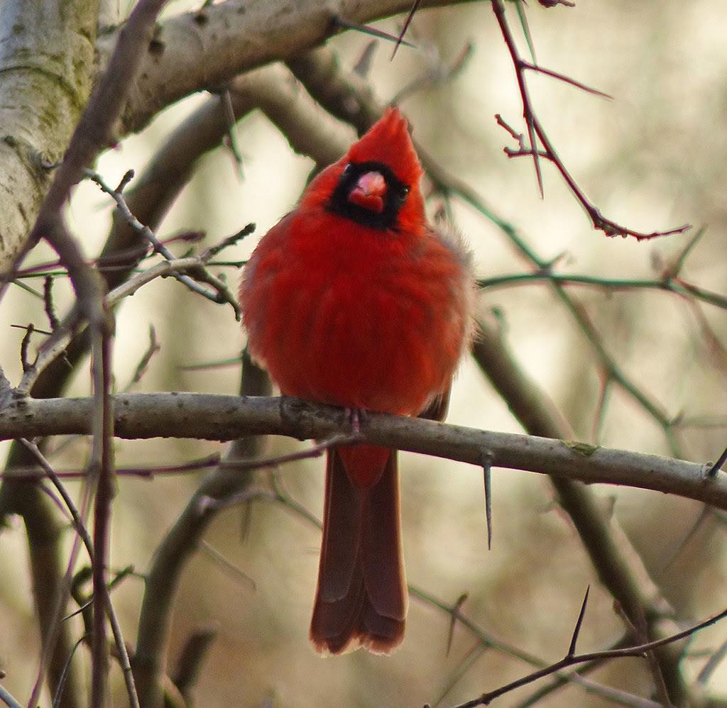 Central Park Cardinal