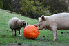 The Pumpkin Act I: Sheep & Pig Meet
