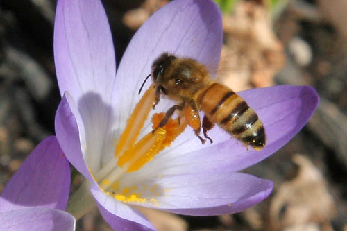 bee on crocus 041