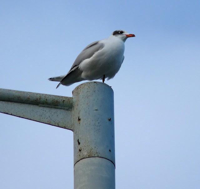 25557 - Mediterranean Gull, Bracelet Bay