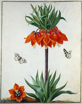 Red flower from 1730 German Tulip Book