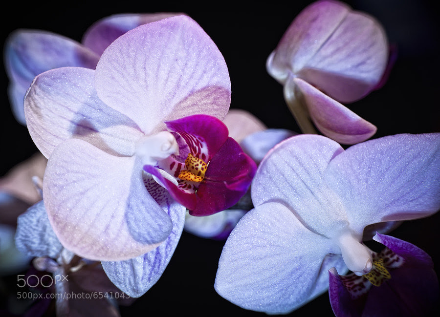 Farewell Orchid by Jay Scott (jayscottphotography) on 500px.com