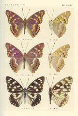 papillon 22