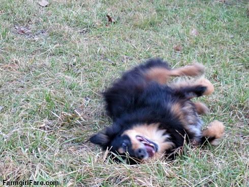 Lucky Buddy Bear, ace cattle dog (14) - FarmgirlFare.com