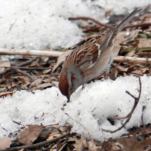 Ed Gaillard: recent &emdash; American Tree Sparrow, Evodia, Central Park