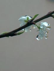 goutte d'eau sur fleur de mirabellier