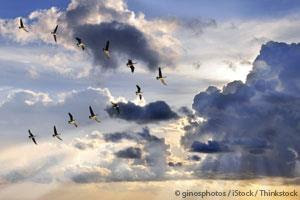 Northern Bald Ibis Flying in V Formation