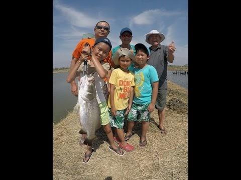Thailand Giant Snakehead (Toman) And Wild Fishing ...