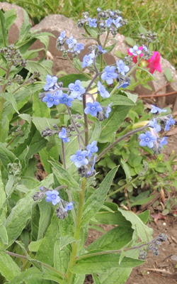 How To Grow Forget Me Not Perennial Flowers Growing Forget Me Mot Seeds