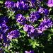 """Sykehusparken - Geranium-x-magnificum """"Rosemoor"""""""