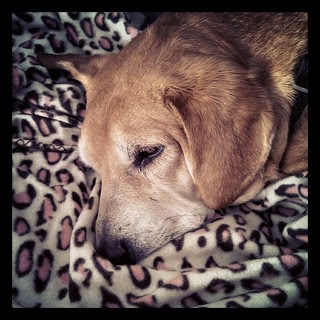 Best $2.88 ever spent! Sophie loves her new pink #cheetah #blanket from Wally World #dogstagram #instadog #Rescued #houndmix #adoptdontshop #sleepy