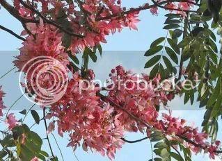 close-up pokok beriksa (Cassia Nodosa)