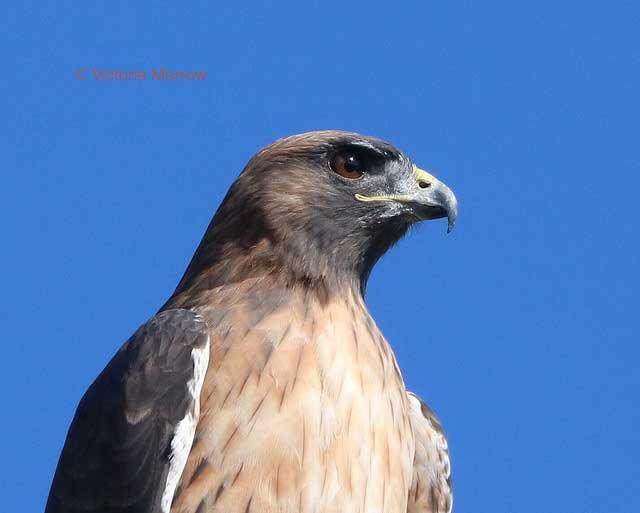 Red-tailed                                             hawk, San Simeon,                                             California
