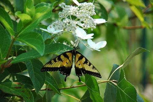 Tiger Swallowtail on Hydrangea