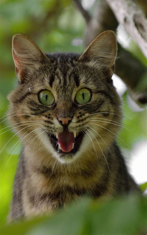 cat screaming  pure  ultra hd mobile wallpaper