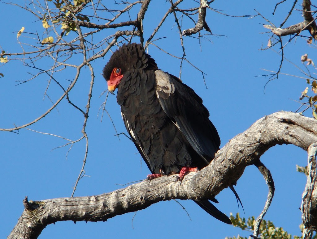 DSC07595 Bateleur Eagle cropped
