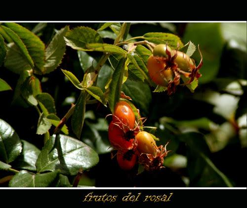 frutos del rosal