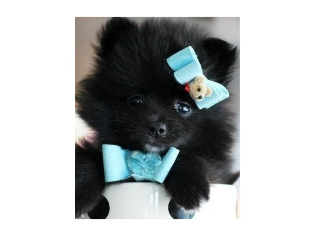 Pure Bred Tiny Teacup Pomeranian pup for Sale Gauteng South Africa