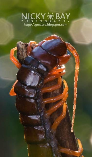 Centipede (Chilapoda) - DSC_8261