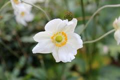 Anemone x hybrida flower
