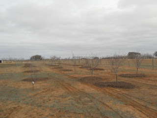 Mulch Spread Around Orchard Trees