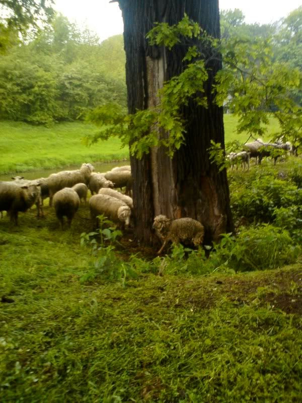 Sheep cuddling with a tree