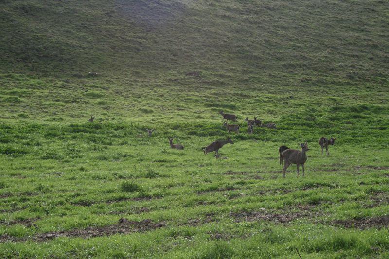 Deer grazing