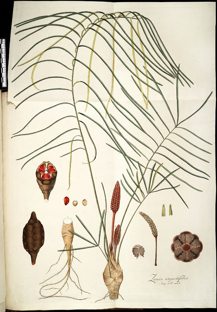 Zamia angustifolia