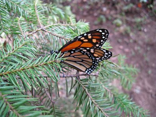 monarcas-2