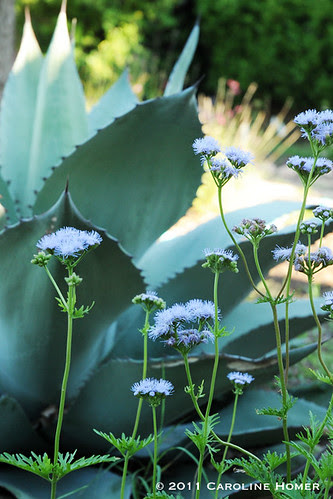 Gregg's mistflower, Whale's Tongue agave