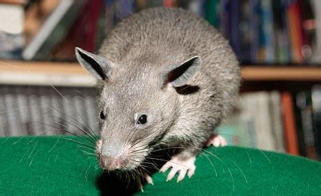 The Beast of the Bronx: Three foot rat 'found in New York City shoe shop'   Daily Mail Online