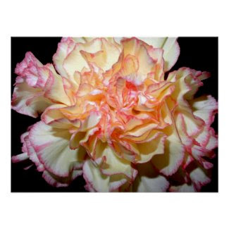 Gorgeous Pink and White Carnation Poster