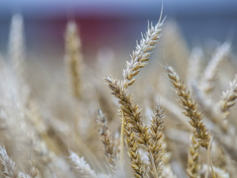 Finland is set to have its lowest grain harvest of the millennium and third consecutive year of poor grain harvest in 2018, according to the Natural Resources Institute Finland (Luke).