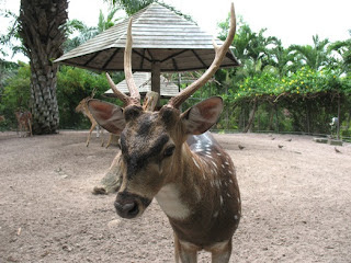Deer at Phuket Zoo