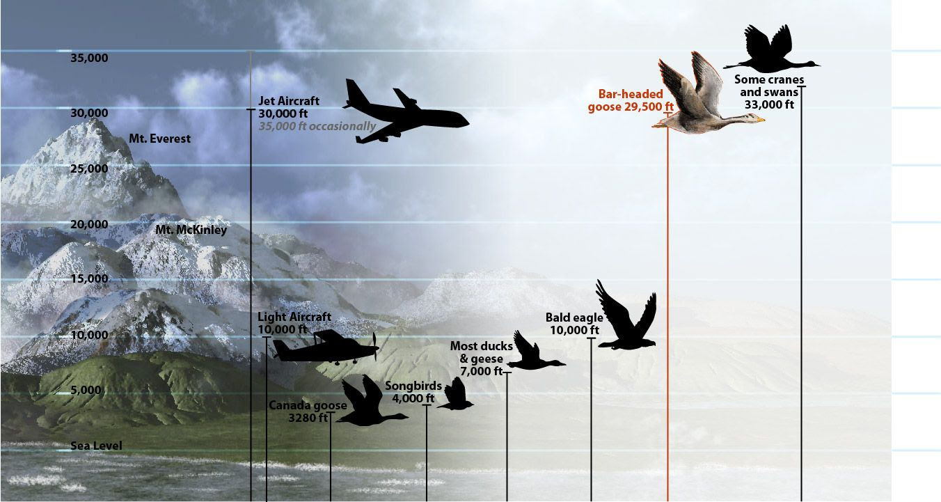 Comparison of flying altitude of bar-headed geese to aircraft and other birds.