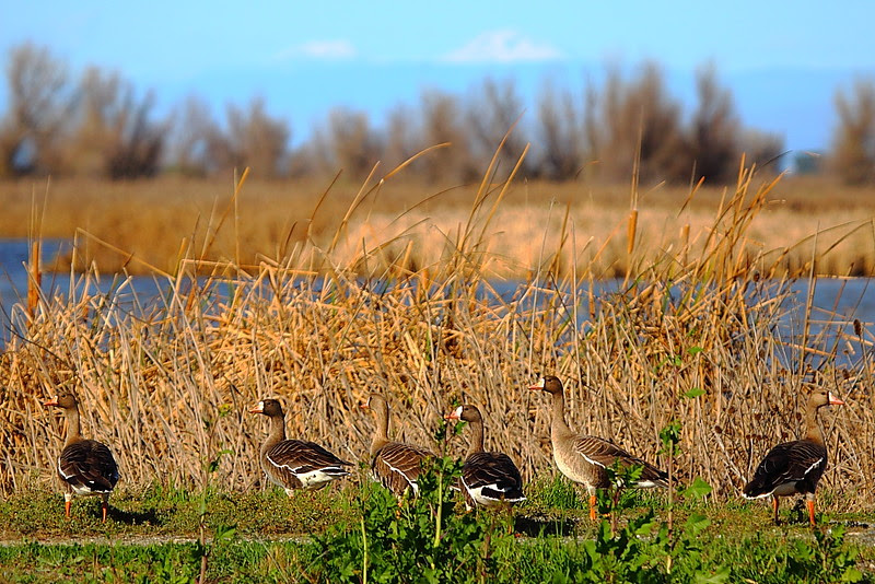 IMG_6154 White-Fronted Geese, Sacramento NWR
