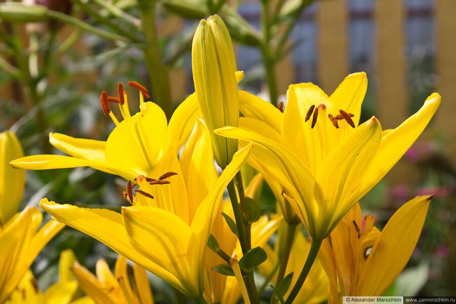 Бутоны лилий жёлтые