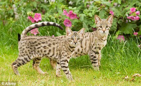 BDBDGF Savannah cat (Felis catus X Leptailurus serval)