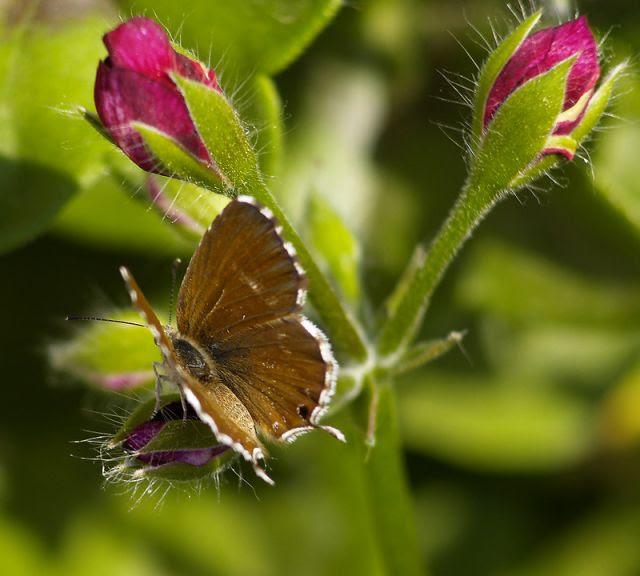Resultado de imagen para Mariposa del geranio
