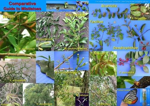 Comparative Guide to Mistletoes by JWH Yong