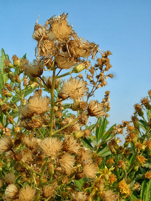 Inula_viscosa_seed_heads 01