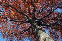 Oak Tree, Flatbush Malls, Buckingham Road