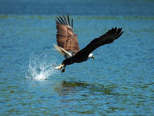 Bald Eagle gets his Prey